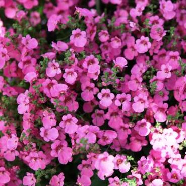 diascia LITTLE LOVER® Little Dancer